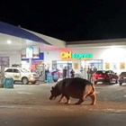 Хипопотами на Пабло Ескобар тормозят колумбийски град (Снимки и видео)