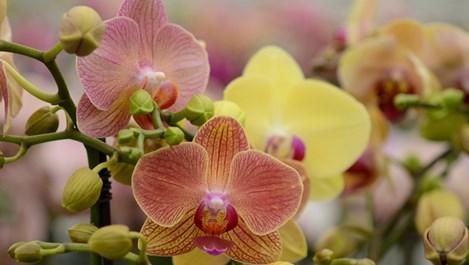 Какво да правим с орхидеята, след като прецъфти