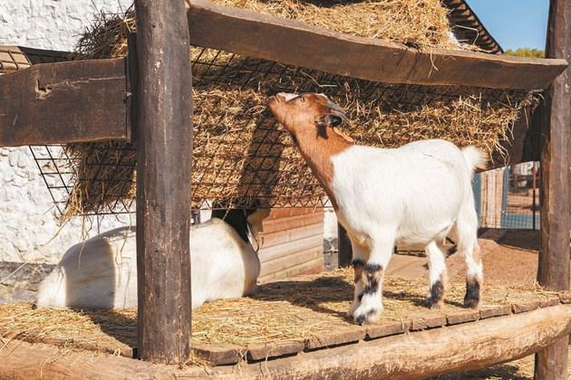 Агалаксията се предава и от преболедували животни