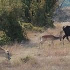 Крави отглеждат елен