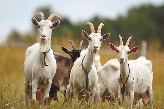 На заплодените кози не се дават много обемисти фуражи, тъй като големият им обем притиска вече развитите ембриони в утробата. Има риск да бъдат предизвикани аборти.