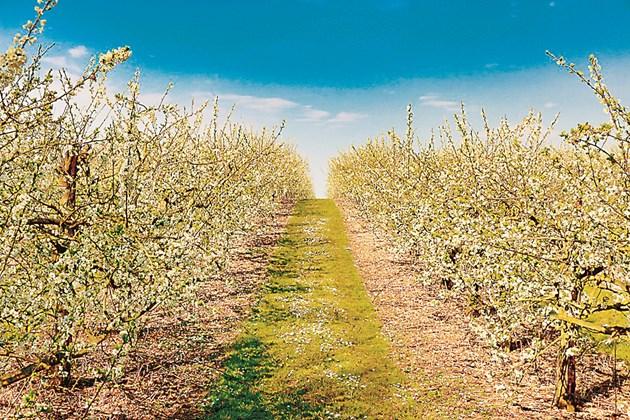 Зеленото торене е подходящо за градини с трайни насаждения и лозя