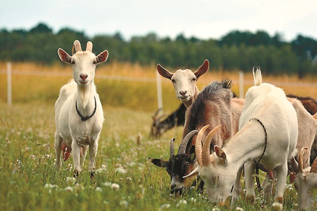 За да се предотвратят отравяния на козите майки и евентуални аборти, не бива да им се залагат развалени фуражи (запарени, плесенясали).
