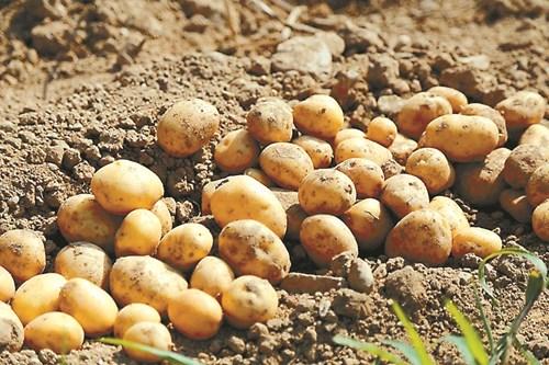 Прибират се и късните картофи