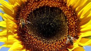 За какво е полезен слънчогледът