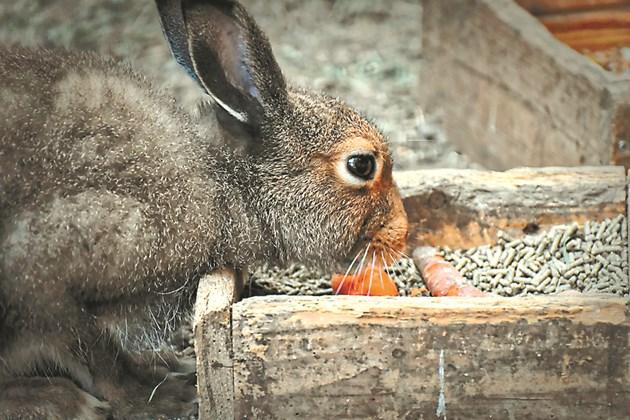 Хранете пълноценно кърмещата зайкиня