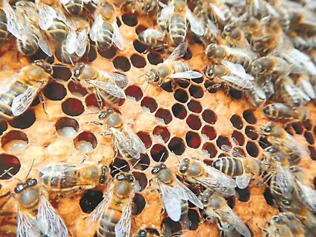 При липса на вода пчелите изхвърлят личинките от килийките
