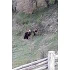 7 мечки бродят в родопско село