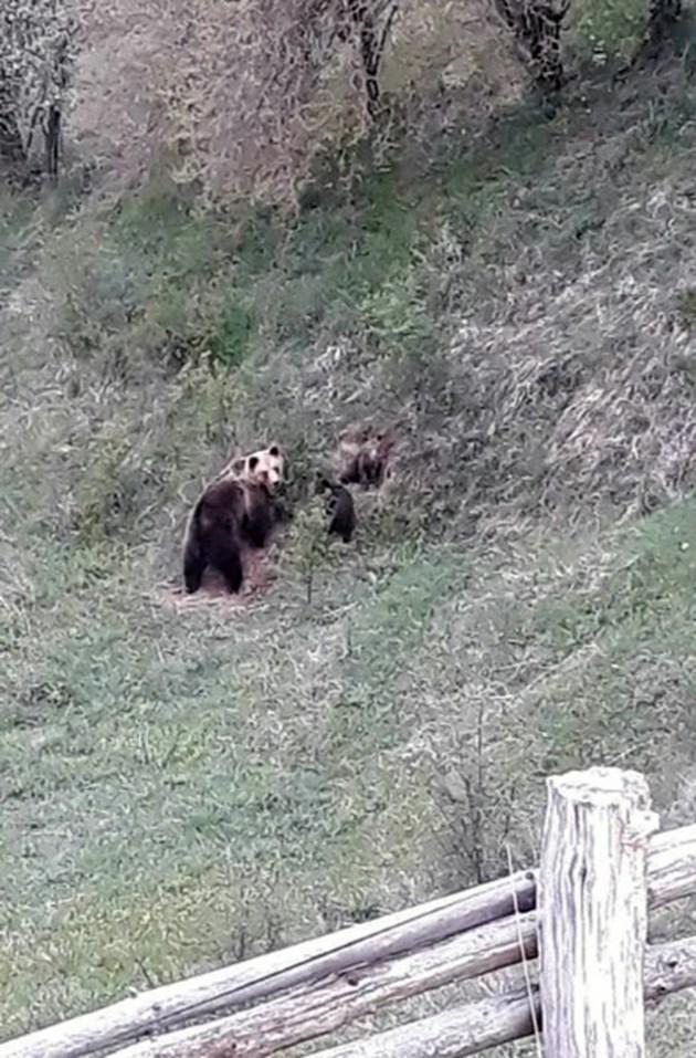 Едра мечка с две малки заснема местен жител