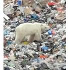 Гладна полярна мечка броди из индустриален руски град (Видео)