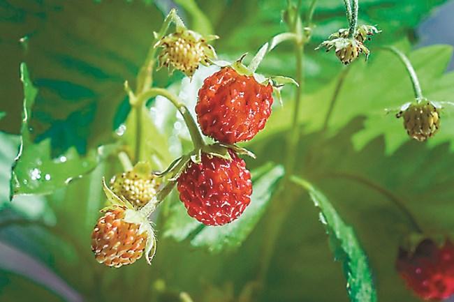 Ягодовите култури се смятат за приятелски, макар че растения, които се поливат често действат неблагоприятно на лозите, защото бързо порастват росните им корени