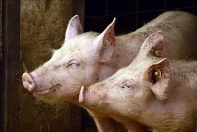 12 озверели от глад прасета изядоха фермер