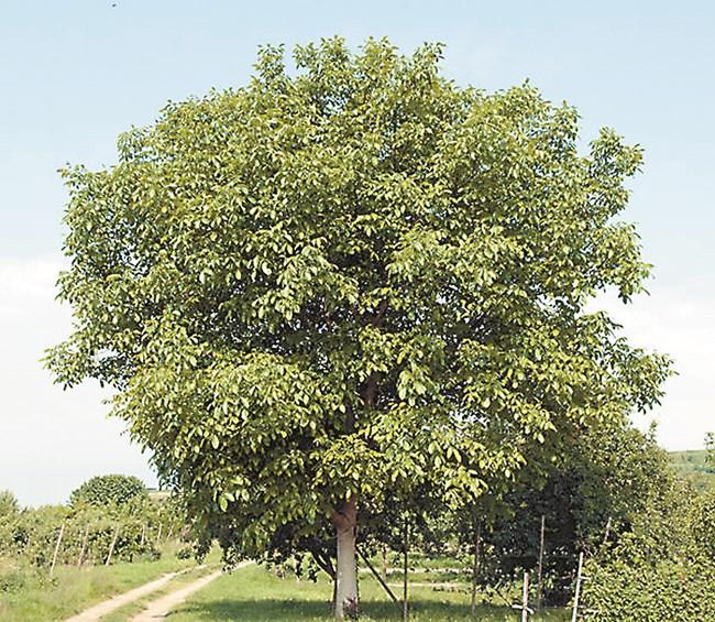 Овощните дървета и орехът правят прекомерна сянка, добивът на грозде ще спадне