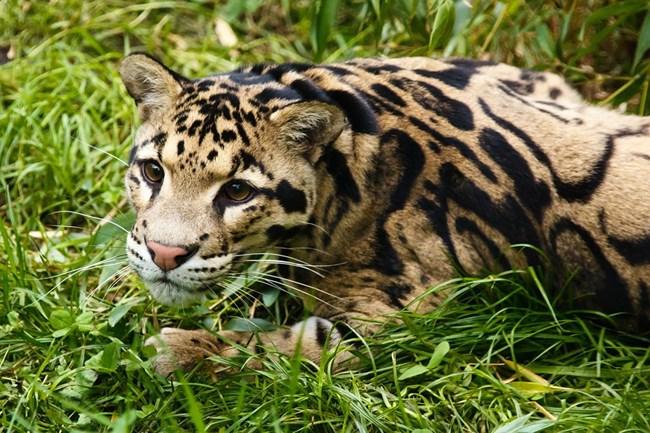 Димен леопард СНИМКА: Pixabay