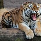 Тигър вилнее на остров Суматра, уби фермер, докато сече дърва