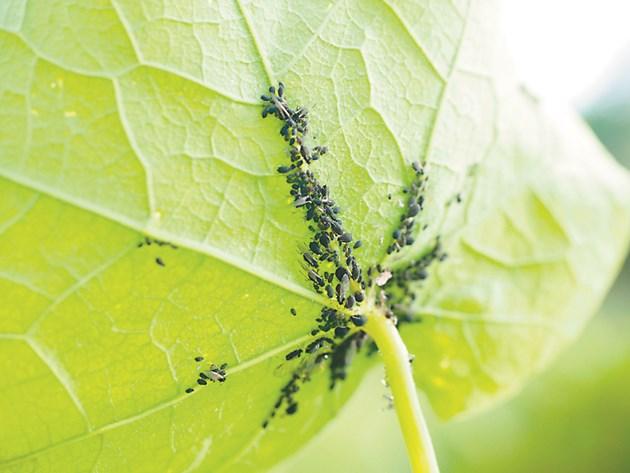 Листните въшки са преносители на опасни вирусни болести по зеленчуковите култури, като краставичномозаичен вирус