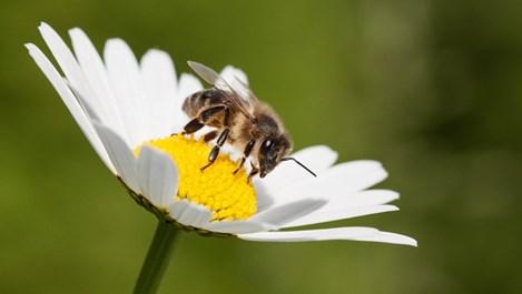 По-млади с пчелен прашец