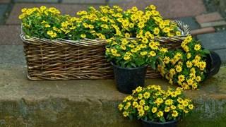 Как да се грижим за цветята в жегите