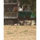 Неуловими прасета тормозят Видин