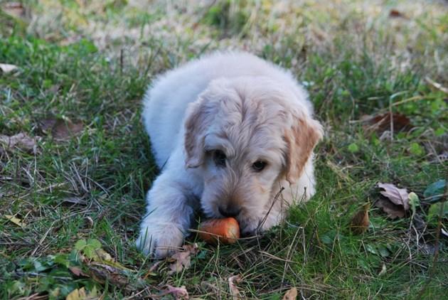 Приучете кучето си от малко да яде сурови моркови