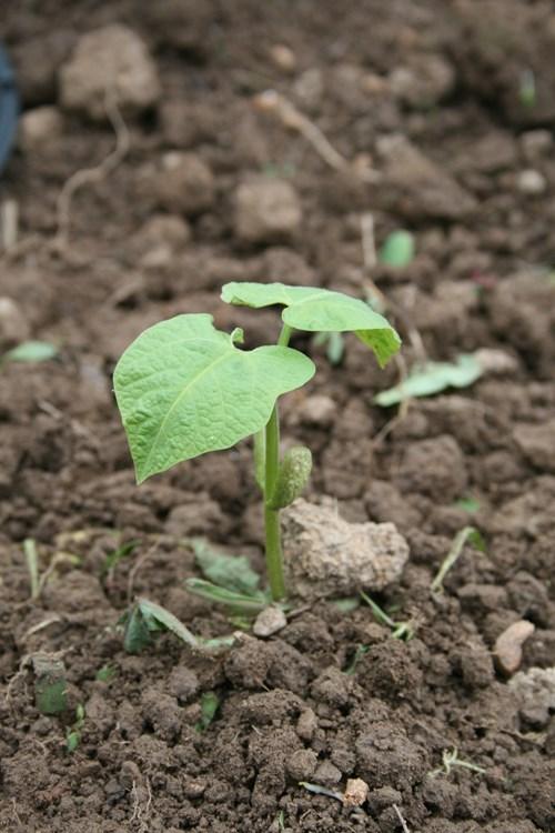 Още се сее зелен фасул