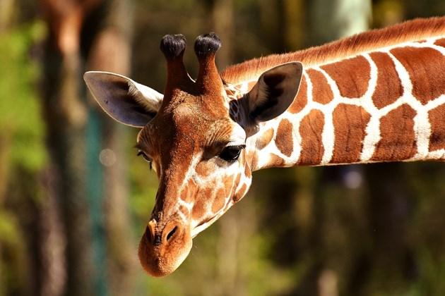 Пиян мъж язди жираф в зоопарк (Видео+снимки)