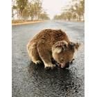 Прежадняла коала пие вода от пътя