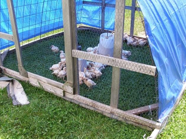 След като пилетата навършат 30 дни, през лятото може да ги отглеждате и навън - под навес