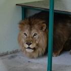 Болни стави мъчат лъва Хектор