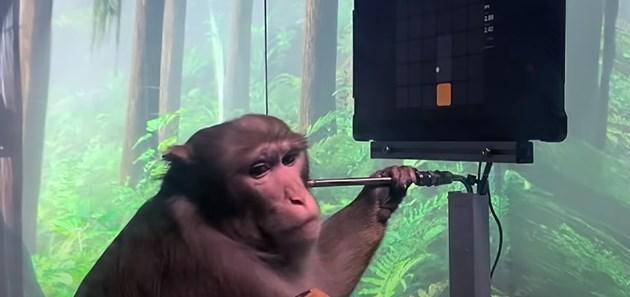 Компания на Мъск показа как маймуна с чип в мозъка играе видеоигри (Видео)
