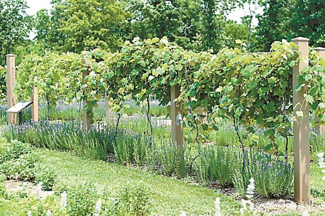 Евентуално лук и неувивен фасул могат да се засадят в по-широко междуредие