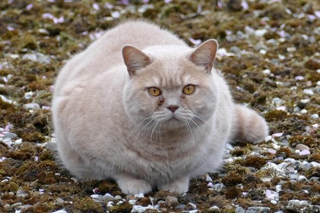 Затлъстяла котка ходи всеки ден на фитнес, за да се втали