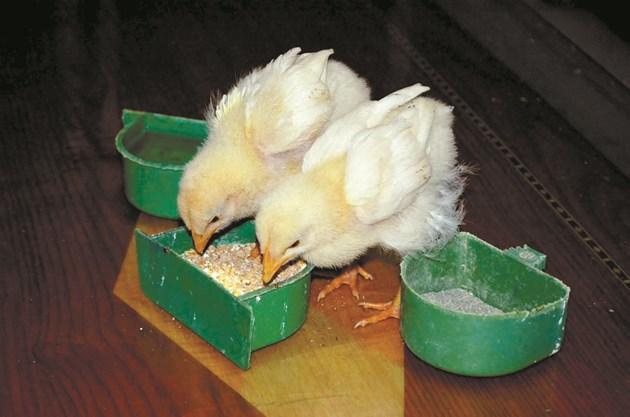 По-високомаслена извара може да се дава на пилета до 10-дневна възраст.
