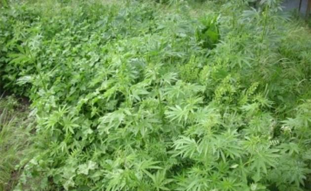 МВР жъне индустриален коноп вместо марихуана