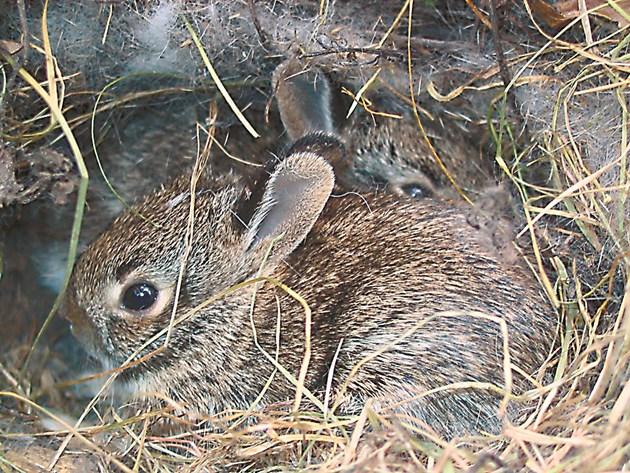 Заболяването се разпространява бързо и в продължение на 10-15 дни може да обхване всички зайчета. Добре е да дезинфекцирате клетката с бензинова лампа.