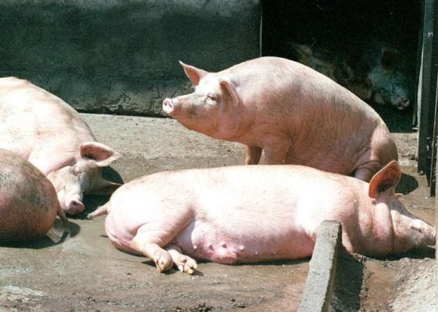 Край на свинската чума