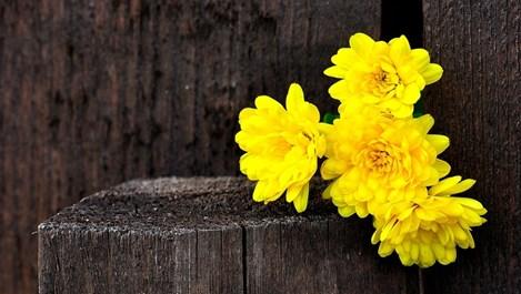 Всичко, което трябва да знаем за хризантемите