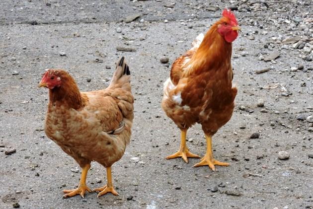Високо изправената глава говори, че на кокошката всичко й е наред