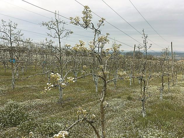 Цъфналите 245 дървета зимни круши сорт Попска и Пас Красан също радват окото