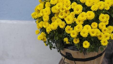Как да се погрижим за хризантемите