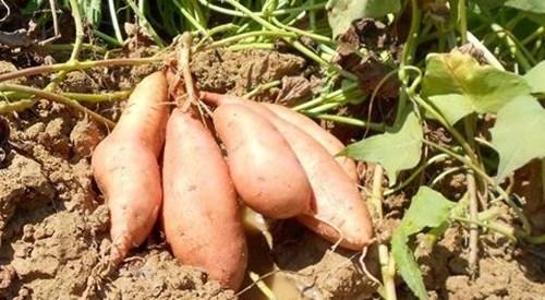 Изисквания на сладките картофи