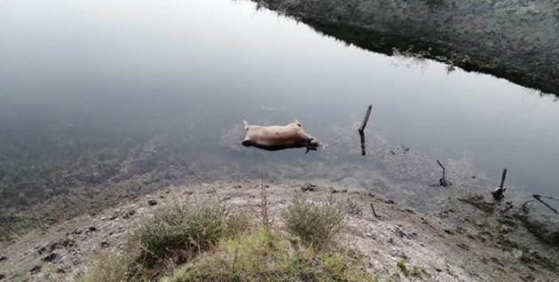 Труп на крава уплаши Родопите