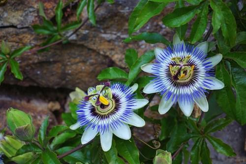 Реже ли се пасифлората и кога?
