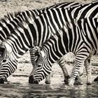 Райетата на зебритеслужатза охлаждане
