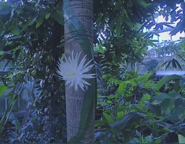Рядък вид кактус цъфна пред очите на хиляди (Видео)
