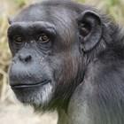 Шимпанзета убиват човешки бебета в Уганда