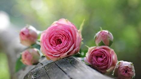 От какво са черните листни петна по розите