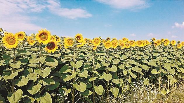В Добричко приключи жътвата на слънчогледа при среден добив от около 285 кг./дка