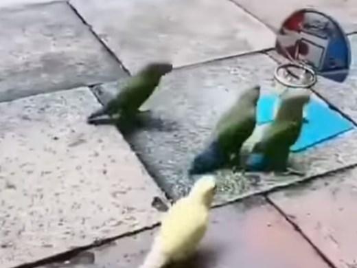 Папагали, играещи баскетбол, станаха хит в мрежата (Видео)