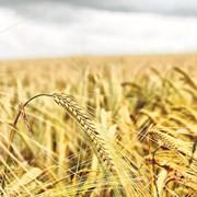 Пшеницата на борсата на цени между 425 и 435 лева за тон, продавачите искат по 550 лева